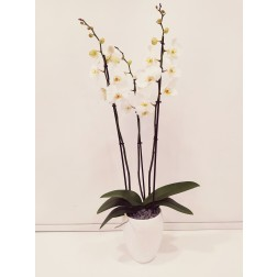 PLANT ORCHID PHALAENOPSIS 60 IN A CERAMIC POT